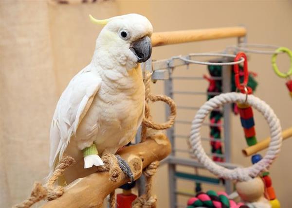 ben-the-parrot-can-finally-get-some-sleep-after-receiving-custom-3d-printed-leg-01 (1)